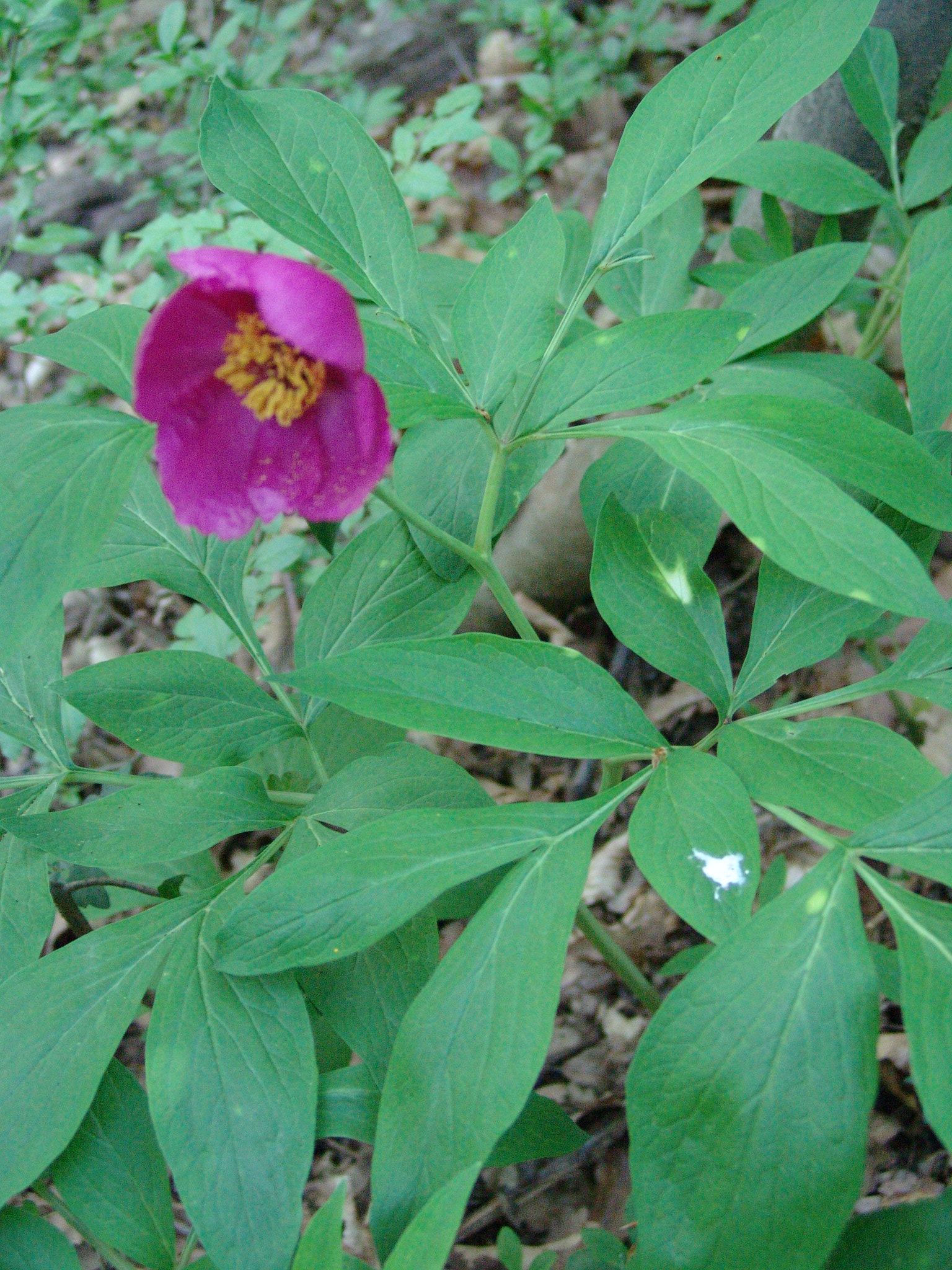 An endemic plant species in the Carpathian Basin: Paeonia banatica photo by Gábor Varga