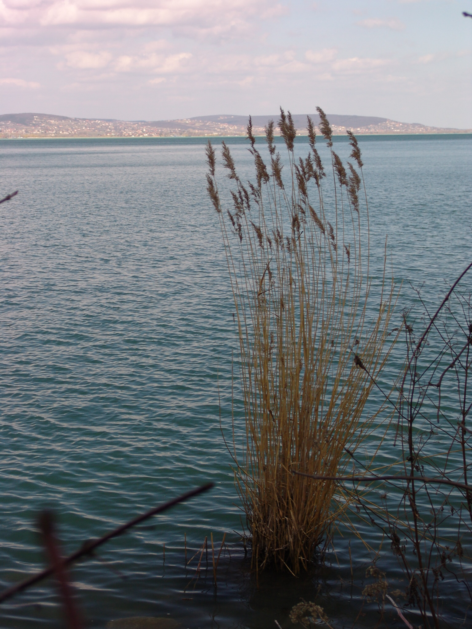 Remnant of a disappearing reed-bed on the eastern shore of the Tihany Peninsula. The northern shore of Lake Balaton in the background, between Balatonfüred and Balatonfűzfő photo by Gábor Varga