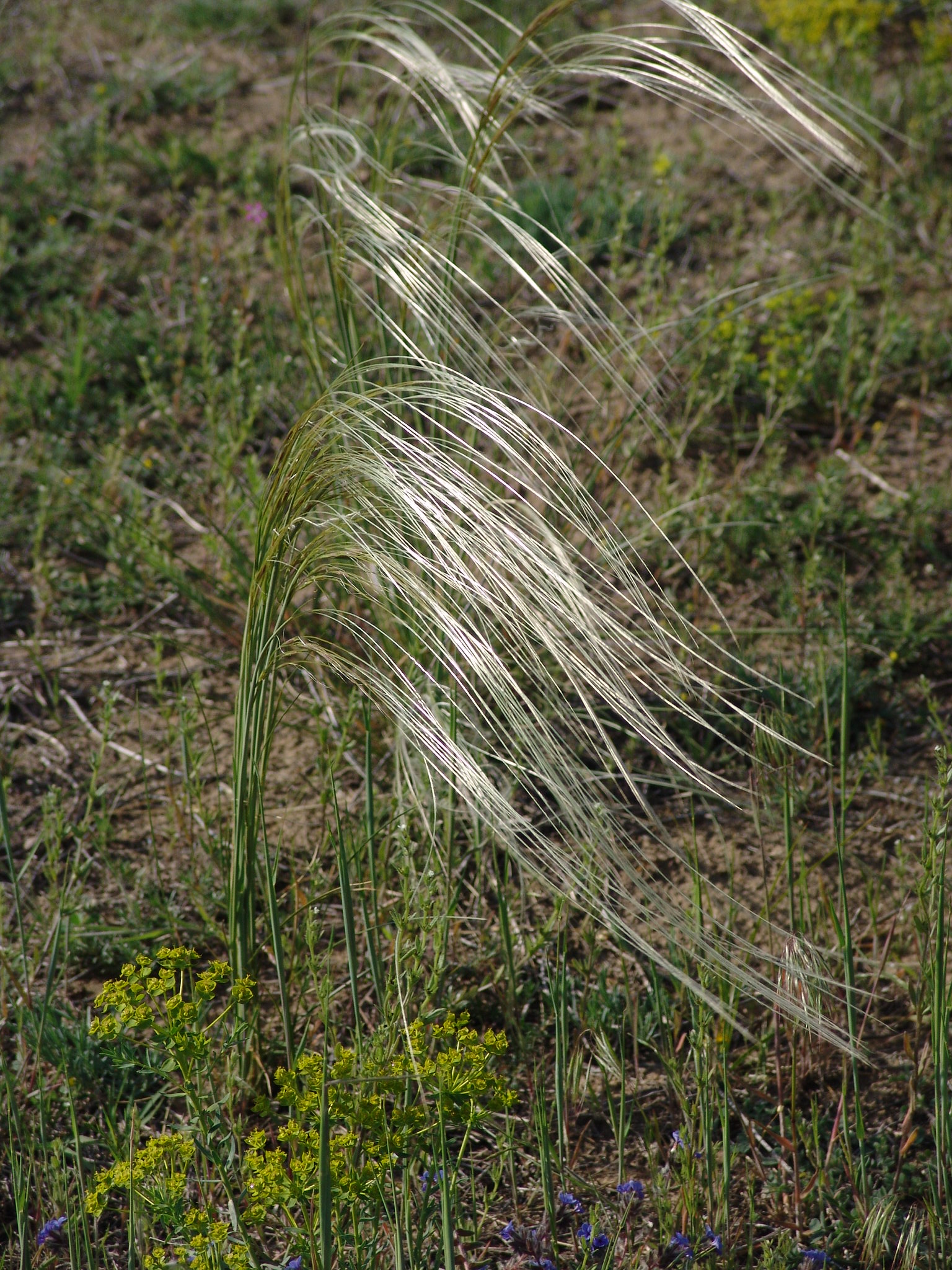 Feather grass (Stipa): protected plant of sand grasslands photo by Gábor Varga